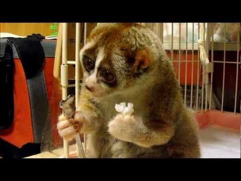 Slow Loris eating a Rice Ball by strongstylebboy: Kinako was domestically bread