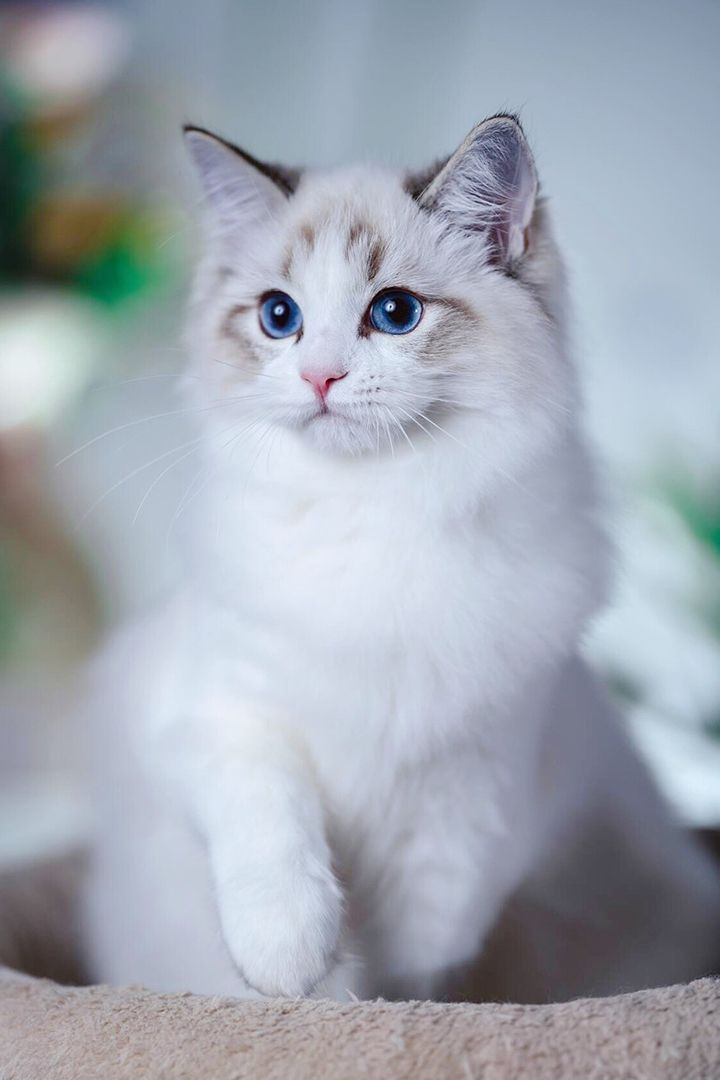 Such A Beautiful Ragdoll Kitten Find Out Where To Adopt A Ragdoll