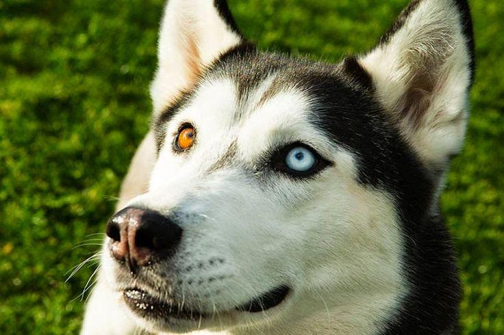 23 besten Huskies Bilder auf Pinterest   Wunderschöne