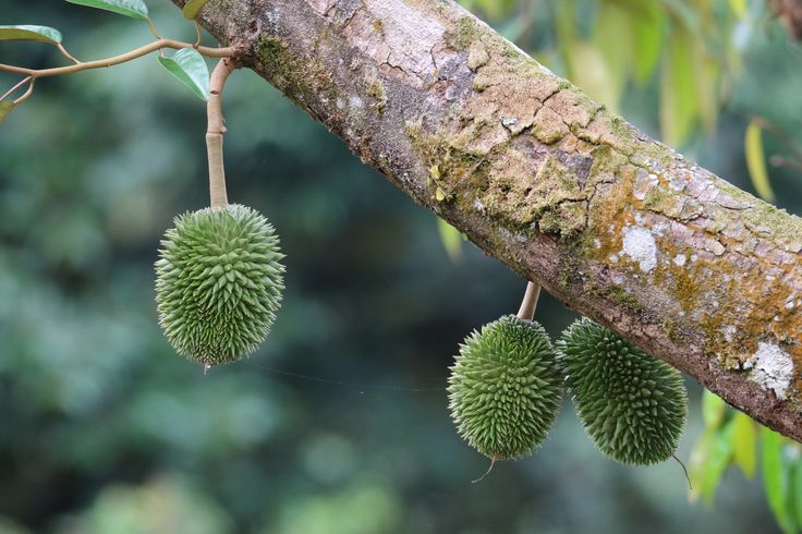 Durians on a tree...