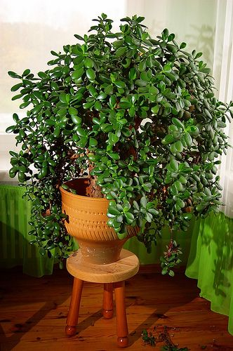 10 Easy Houseplants To Grow. I only have 2 varieties of these too! I wish my jade looked like that!
