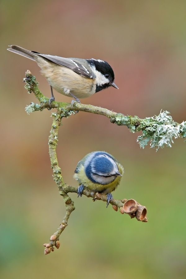 Black and blue - A Coal tit and Blue tit share the same perch