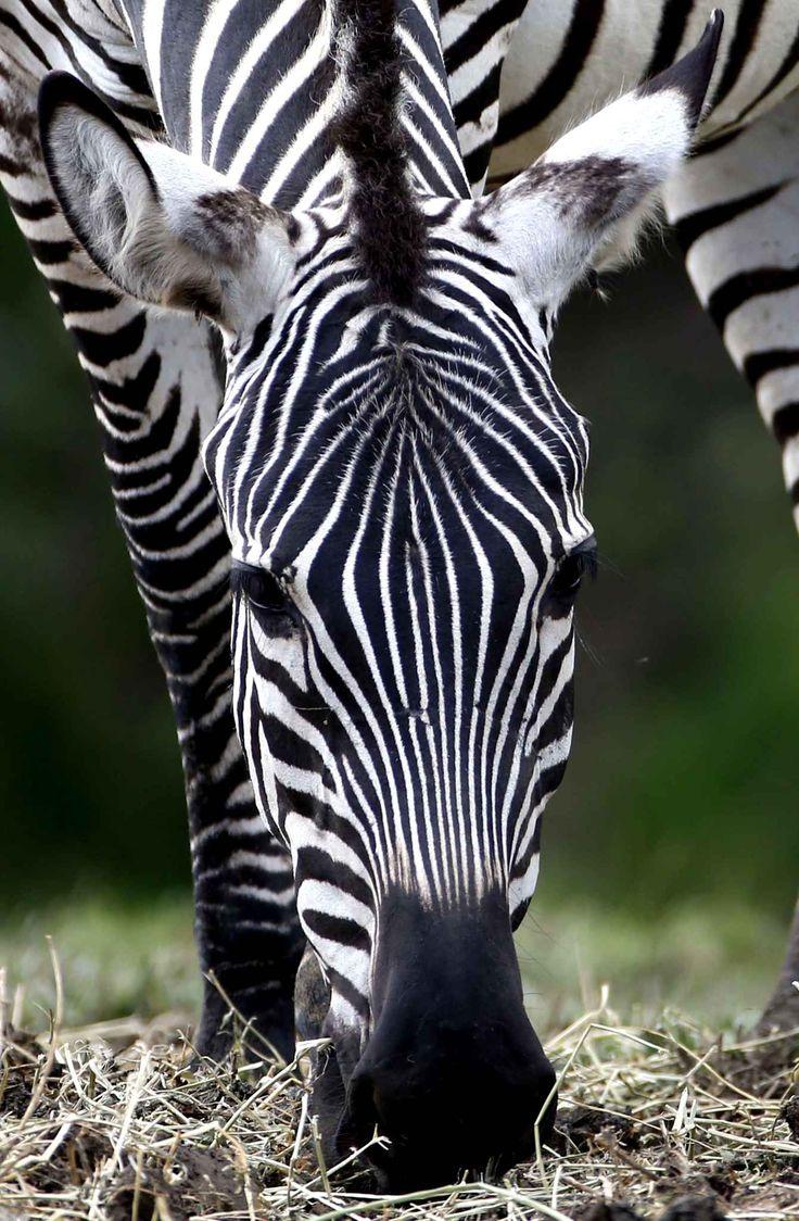 199 best zebras images on pinterest animals wild animals and zebras