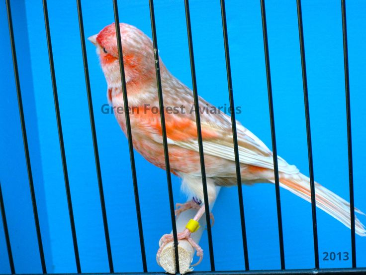 Black Ino Red Mosaic Canary Male My Birds Pinterest