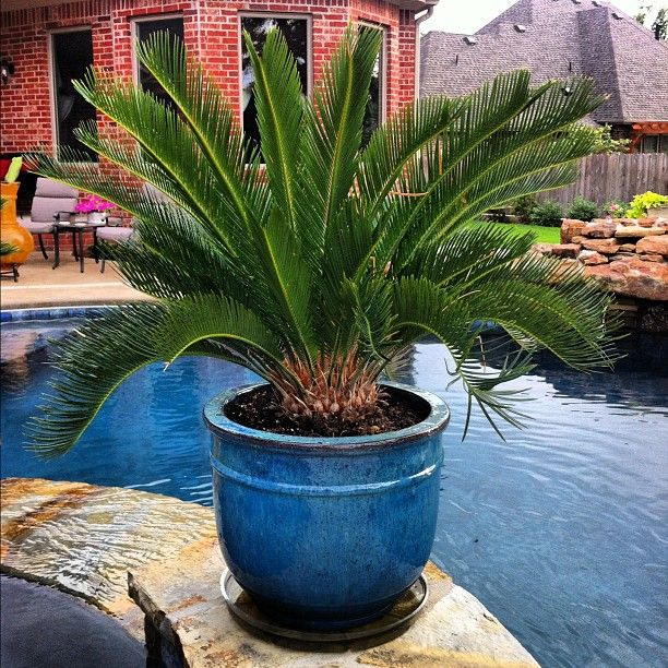 Sago Palm... We have a few of these in our yard and I'm trying to get ideas on what to do with them