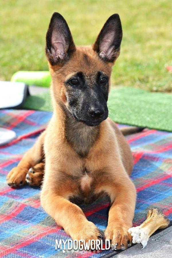 Welpe Puppy Belgischer Schaferhund