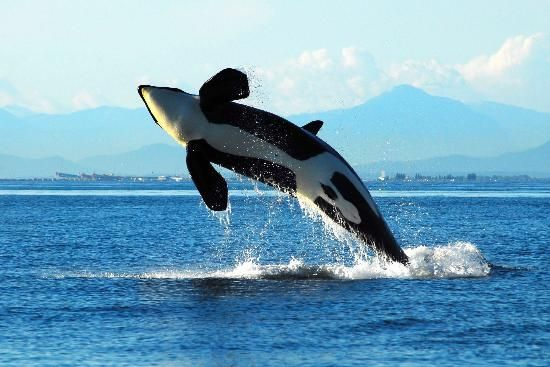 Orca whale breaching near Nanaimo BC - Picture of Long Lake ...