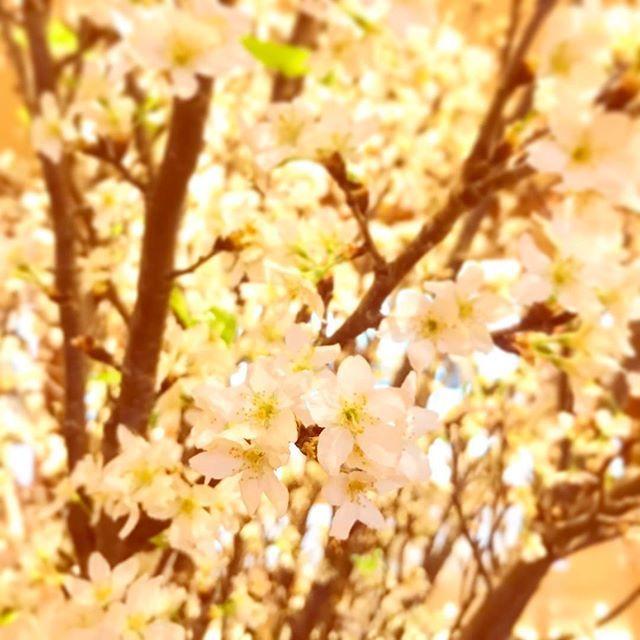 【cotori_flower】さんのInstagramをピンしています。 《一足早い春の訪れ✨🌸✨ . お正月でも満開の桜を楽しめるようにと、山形県で促成栽培で大切に育てられた啓翁桜🌸🌸🌸 . 外はとっても寒かったけれど、可愛い桜を見ることができて、心はあったか😊💕 . . #啓翁桜 #桜 #早春 #早春を告げる花 #満開の桜 #促成栽培 #山形 #生産量日本一 #春が楽しみ #薄紅色 #可愛いお花 #横浜ベイシェラトン #ベイシェラトン #ホテル #ティータイム #外は極寒 #keiouzakura #sakura #cherryblossom #spring #earlyspring #japan #yokohama #yamagata #flower #pink #baysheraton #spg #sheraton》