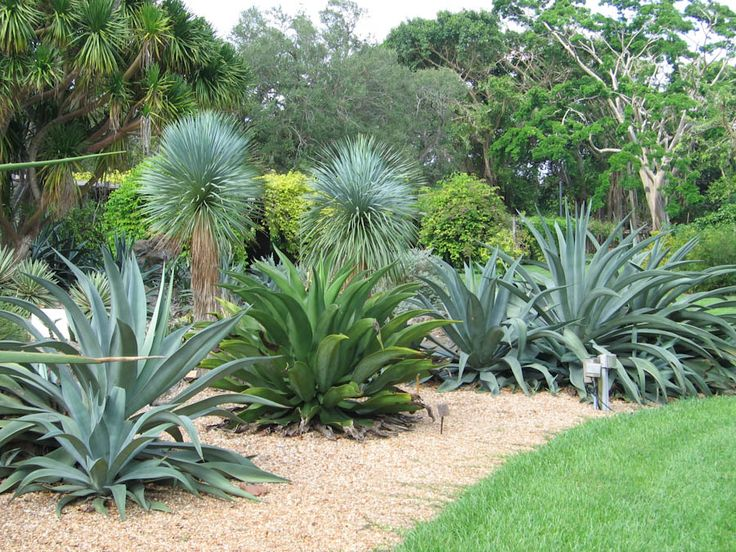 71 best Agave images on Pinterest   Succulents, Gardening ...