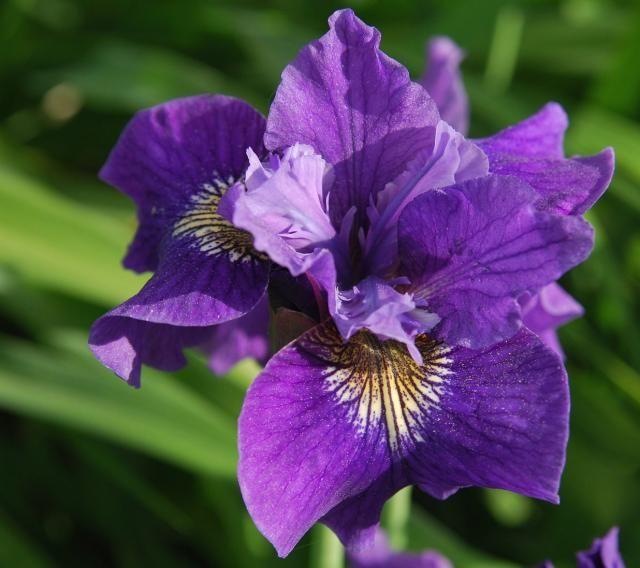 purple wedding flowers Iris