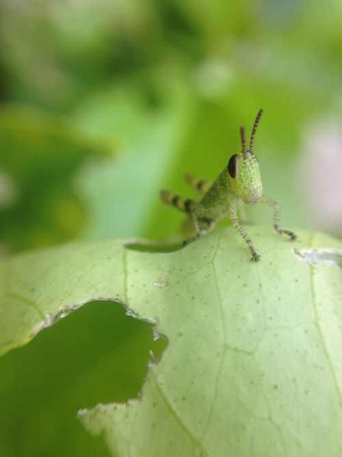 Mini grasshopper |