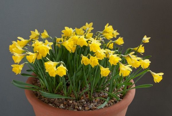 11 best Narcissus asturiensis images on Pinterest ...