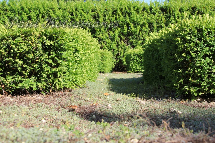 """Miniature Hedge Maze (roughly 6"""" tall)"""
