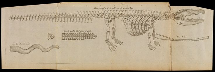 A crocodile skeleton in the Royal Society's Repository - Anonymous Prints   The Royal Society