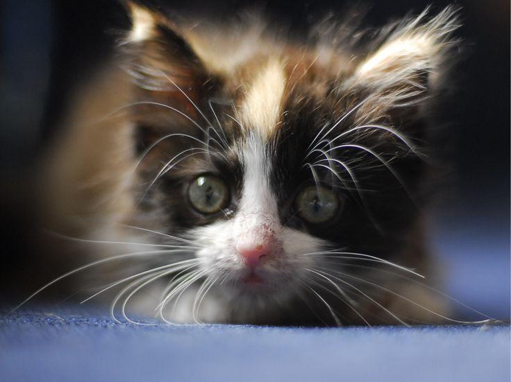 Fluffy kitten face @ www.fluffyorfuzzy.com