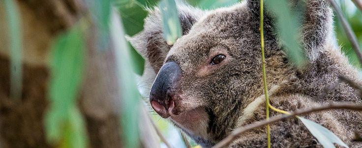 #Camping on North #Stradbroke #Island #Strattie #Koala #Manta Australia #livingdreams www.parkmyvan.com.au #ParkMyVan #Australia #Travel #RoadTrip #Backpacking #VanHire #CaravanHire