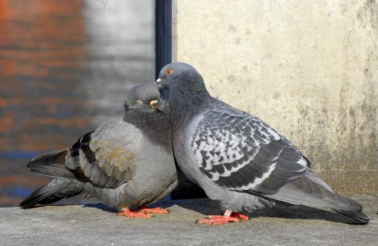 Alasan Mengapa Burung Merpati Tidak Pendendam Dan Selalu Setia Pinterest Dan