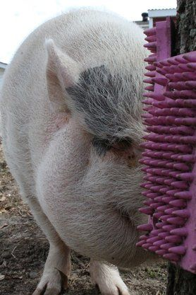 Mini Pig Enrichment- Scratch N All pads are AMAZING! They come in a 4 pack if you use the code on our website and for each discounted 4 pack purchased, 10.00 of that money goes to Mo Money For Pigs, a 501c3 charity that helps pay vet bills for pigs in emergency situations when their pig parents are unable to pay the bills themselves. Such a great woman to give MMFP a check every month!