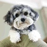 Maltipoo puppy Teddy Bear puppies for sale here http://www.smalldogbreeds.info/teddy-bear-puppies-for-sale.html