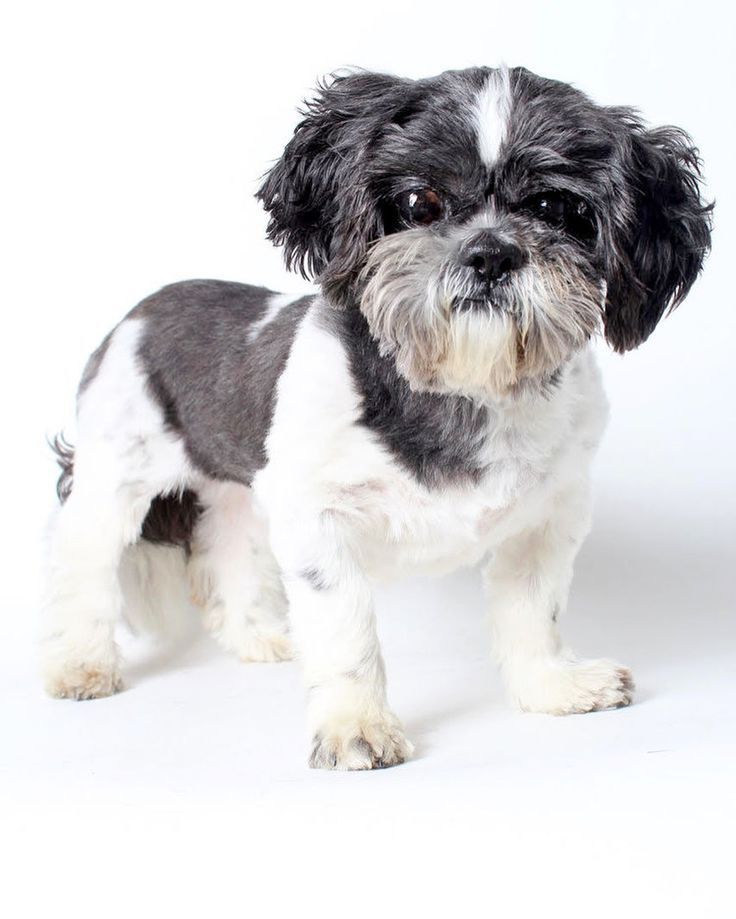 Please Meet The Most Mellow And Easygoing Fellow You Can Ever Meet Milkshake Milkshake Is A Charcoal And White 8 Year Old A Dog Adoption Kitten Adoption Pets