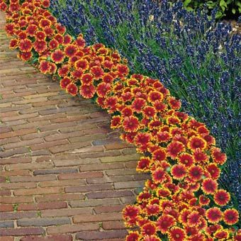 12 best blanket flower gaillardia images on pinterest beautiful non stop blanket flower carpet red daisylike petals tipped with golden yellow will bring mightylinksfo
