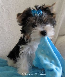 adorable. a biewer yorkie <3