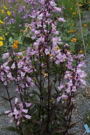 Penstemon digitalis 'Ruby Tuesday' winterhard