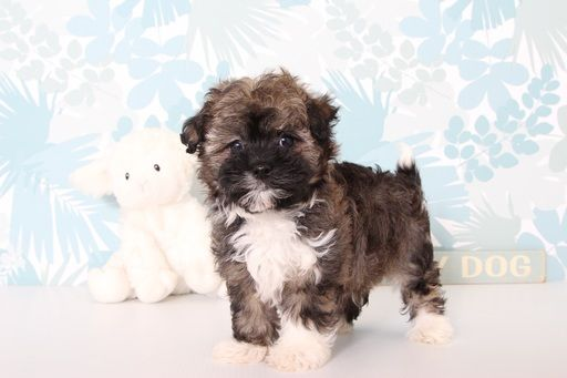 Havanese Puppy For Sale In Naples Fl Adn 69785 On Puppyfinder Com Gender Male Age 9 Weeks Old Havanese Puppies For Sale Havanese Puppies Puppies For Sale
