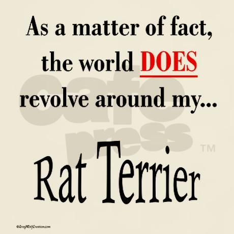 Describes the Rat Terriers in my house!