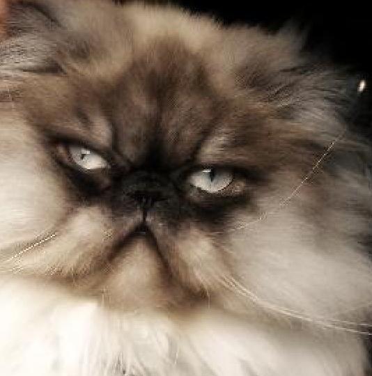Shiva persian cat
