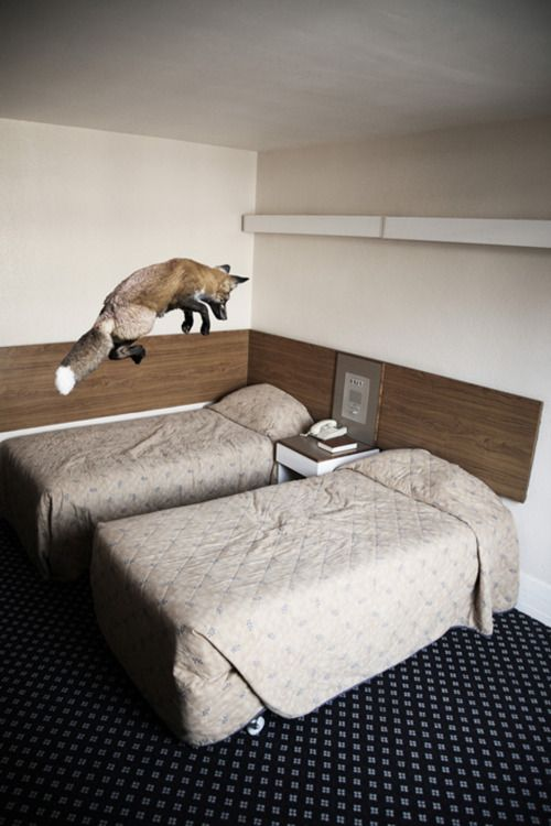 Admit it. This is the first thing you do to hotel beds as well.: Photos, Photographers, Pet Foxes, Beds, Mikel Uribetxeberria, Leap Of Faith, Red Foxes, Hotels, Animal