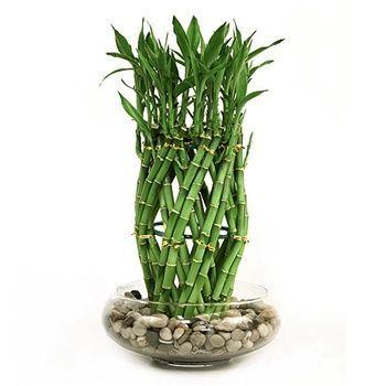 Guzmania and Lucky Bamboo Terrarium