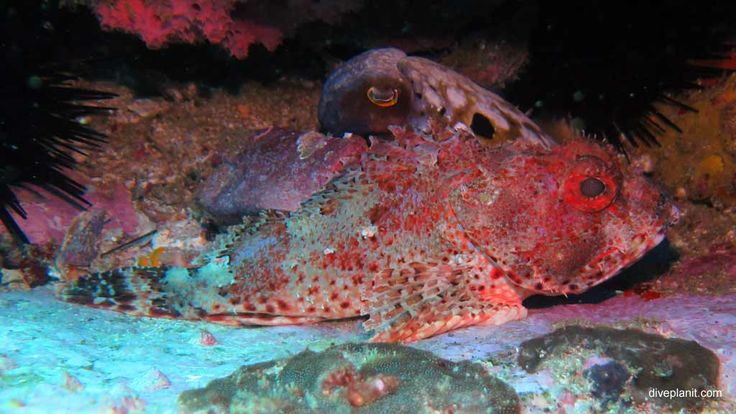A Rockcod and Octopus - strange bedfellows indeed - diving South Solitary Islands, Buchanan's Wall #scuba #diving #underwater #travel #diveplanit