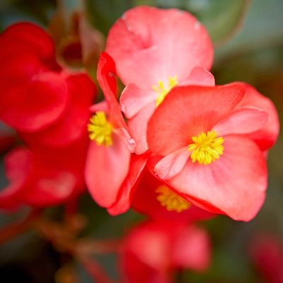 Red Flowering House Plants 20 best house plants: indoors to outdoors images on pinterest