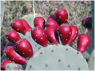 What is Nopal Cactus » Nopalea Reviews
