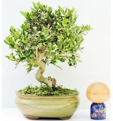 Bonsái Olivo Silvestre 9 años Acebuche ( Bonsai Olea sylvestris)