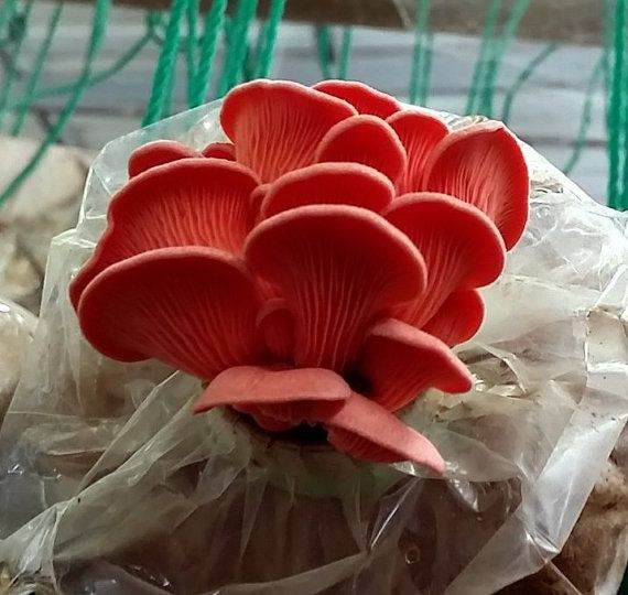 Learn How To Grow These Beautiful and Delicious PINK OYSTER Mushrooms Easily At Home! Fresh and High Quality Pleurotus djamor Mushroom Spawn Only For $9.99. Free International Shipping! Mushroom Growing Manual Included!