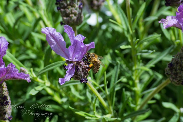 Bees just love Lavender.  They were just coming at this plant from all directions.