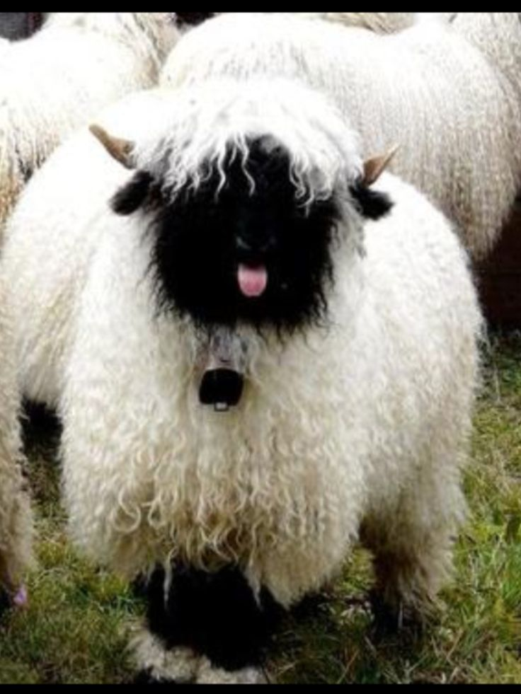 Valais Blacknose sheep! And that tongue. :)