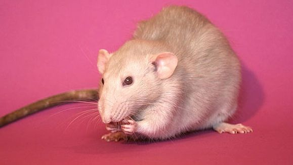 Das dürfen Ratten nicht fressen