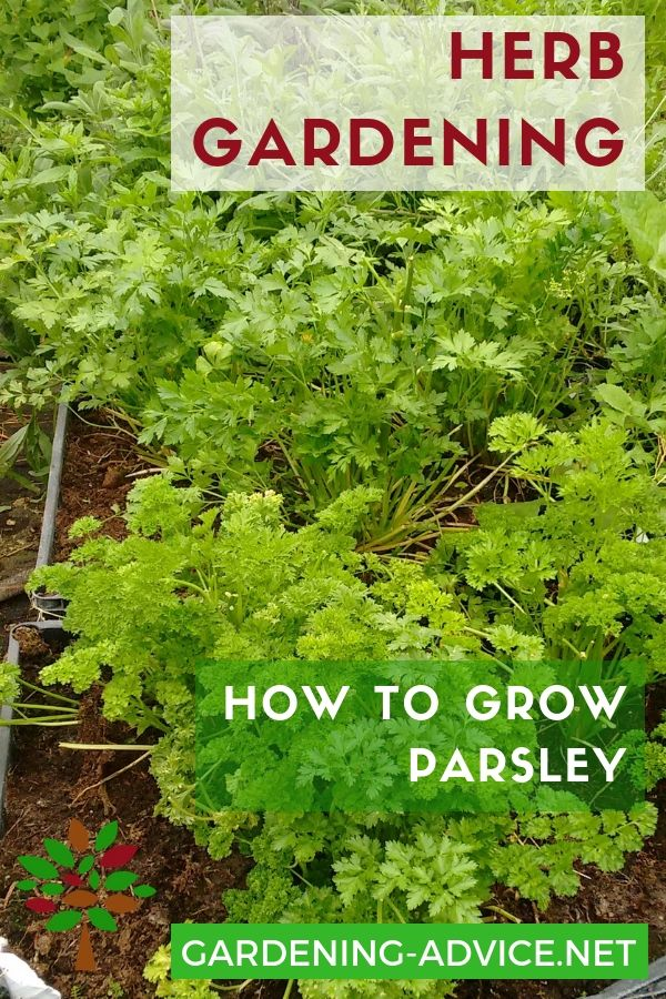 Growing Parsley How To Grow This Versatile Herb Indoors Or Outdoors Growing Herbs In Pots Growing Parsley Herbs Indoors