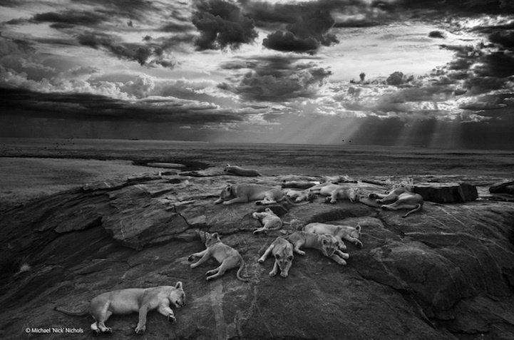 Lionnes au Parc national du Serengeti