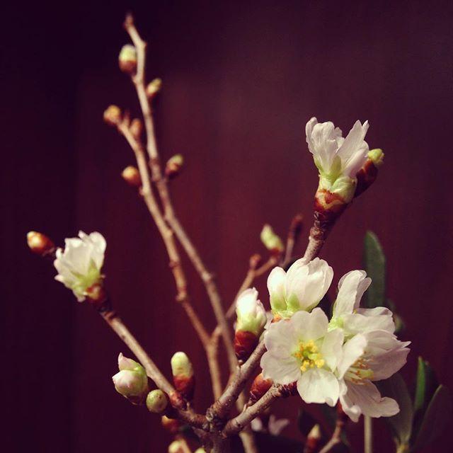 【hilltop_wedding】さんのInstagramをピンしています。 《桜が咲きました♪啓翁桜という早春を告げる桜。外はとっても寒いですが、なんだかほっこりしました♪#山の上ホテル#山の上wedding#桜#啓翁桜#春#ブライダルサロン#プレ花嫁#卒花嫁#flower》