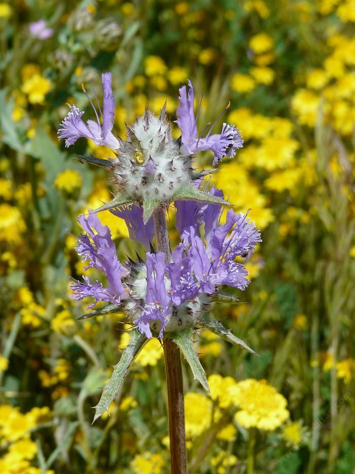 164 best images about native california plants on for Purple flower shrub california