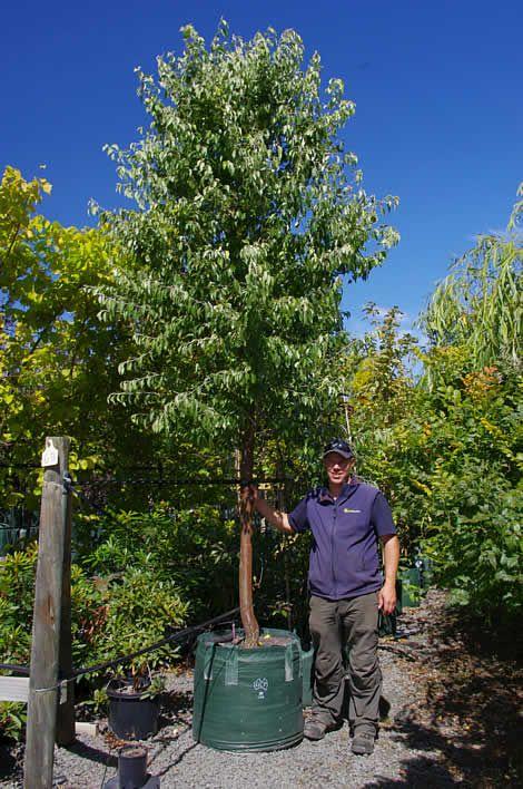 Advanced trees tasmania - Greenhill Nursery