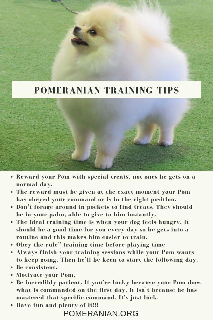 Pomeranian Training Tips Pomeranian Training Pomeranian Puppy Training Dog Training