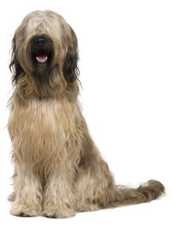 58 best images about Briard on Pinterest | French, Dog art ...