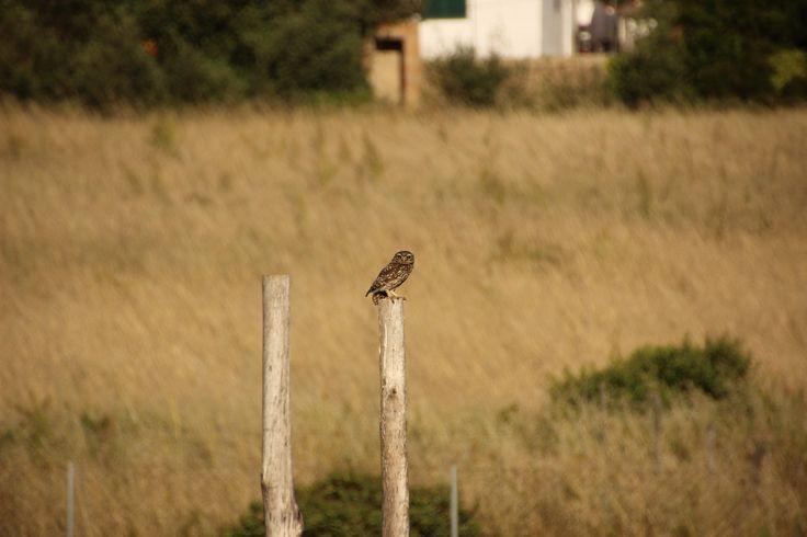 The little owl (Athene noctua) enjoying the new pergola.