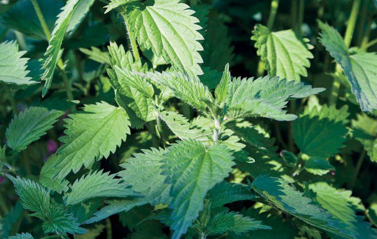 Felsorolni is nehéz rengeteg gyógyhatását. Egyik legjobb vértisztító növény, feloldja az anyagcseréből származó salakanyagokat, eltávolítja a szervezetből a mérgeket.