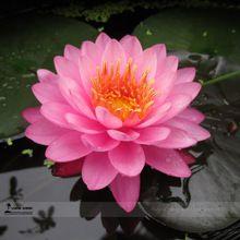 Бесплатная доставка 5 шт. розовый лотос комарова цветы лотоса семена пруд растения бонсай закрытый доступны 49%(China (Mainland))